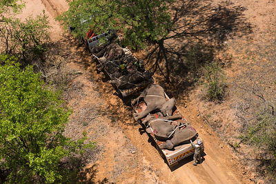 Aerial view of people transporting tranquillised Elephants (Loxodonta africana) on trucks. The Elephants had been darted from...