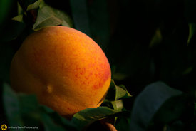 Ripe Peaches on the Tree #9