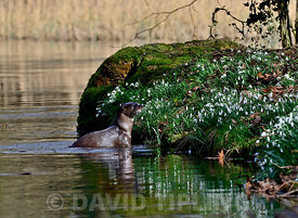 European Otter (Eurasian River Otter) Lutra lutra on River Thet, Thetford, Norfolk