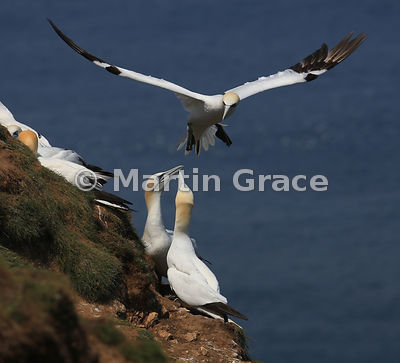 Northern Gannet (Morus bassanus), Bempton Cliffs (RSPB), East Riding of Yorkshire, England