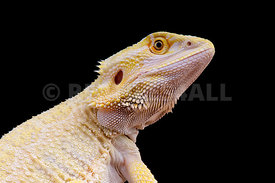 "Pogona vitticeps ""leucistic"", Bearded dragon, captive bred"