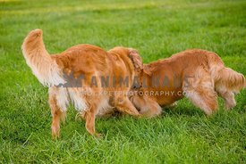 two golden retrievers playing in grass