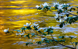 Dogwood flowers on the Merced River
