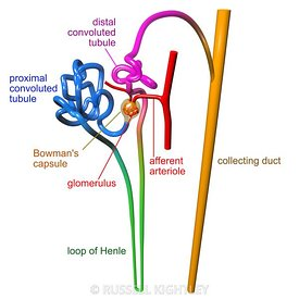 Human nephron labelled #4
