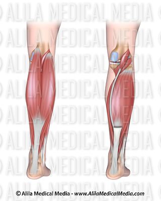 Lower leg muscles posterior unlabeled