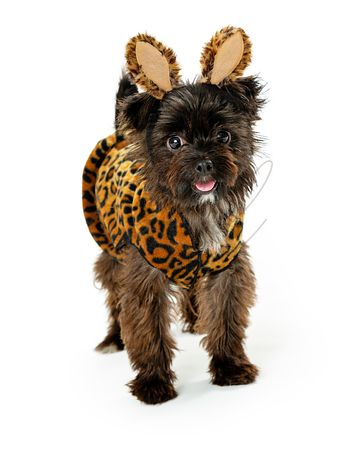 Toy Breed Dog Wearing Wild Animal Halloween Costume