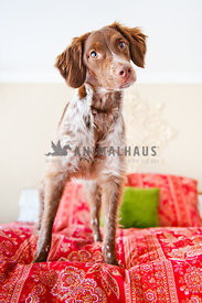 Britany spaniel standing on bed