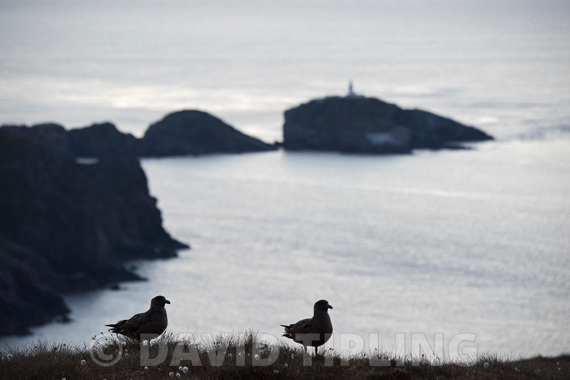 Great Skua, Stercorarious skua, a pair look out over the northerly tip of Hermaness and Muckle Flugga Lighthouse, Unst, Shetl...