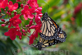 Monarch & Monarch in Caribbean