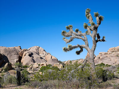 Joshua_Tree_May10_166