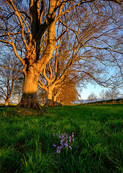 Bluebells_with_Beeches_-_Dorset