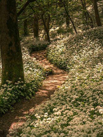 Wild garlic way