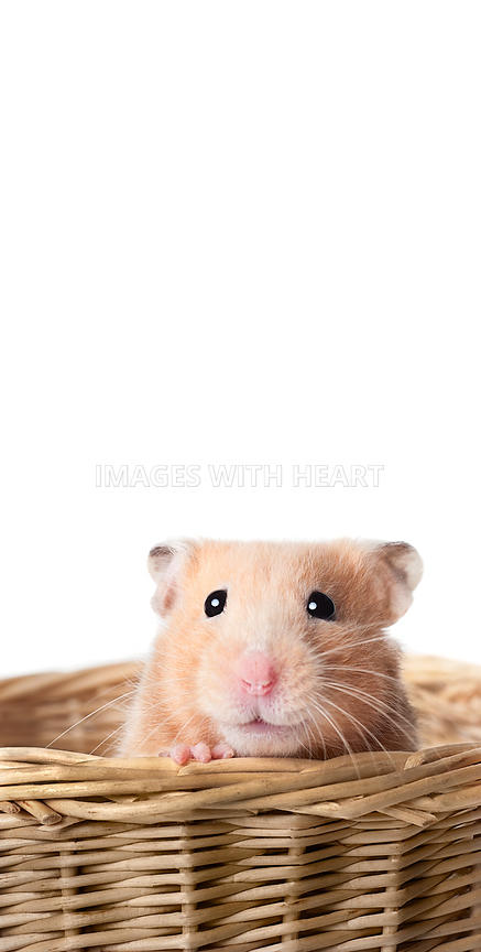 Teddy bear hamster in a basket