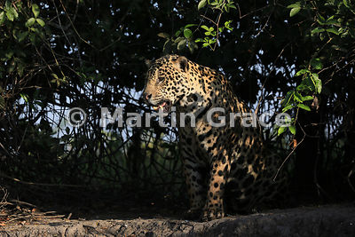 Male Jaguar (Panthera onca) known as Marley, in early morning dappled sunlight and looking to our left, River Cuiabá, Norther...