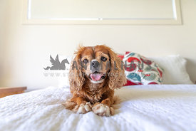 small happy dog on a bed with direct eye contact