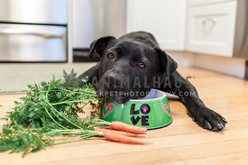 black dog laying on food dish with carrots on floor