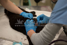 neutering male cat at TNR clinic