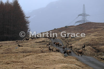 Herd of Red Deer stags (Cervus elaphus), Badenoch & Strathspey, Scottish Highlands