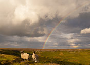 Sheep and rainbow on Higger Tor