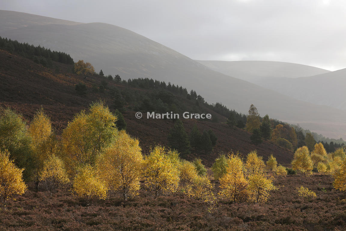 Sunlit autumnal birch trees (Betula sp) in Glen Feshie, with Scots Pines behind, Inverness-shire, Scotland