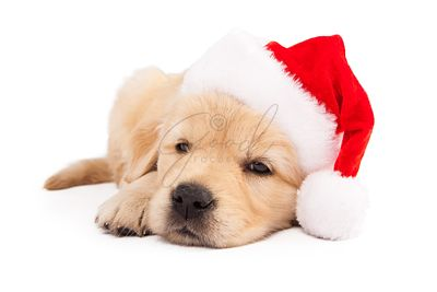 Golden Retriever Puppy Wearing Santa Hat