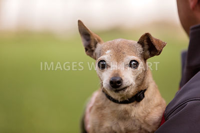 Senior chihuahua smiling in man's arms