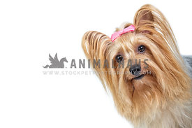 yorkshire terrier peeking into frame against white backdrop