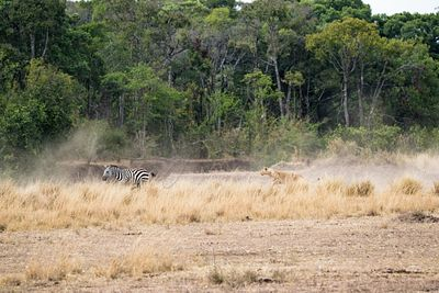 Lion Chasing After Zebra in Kenya Africa