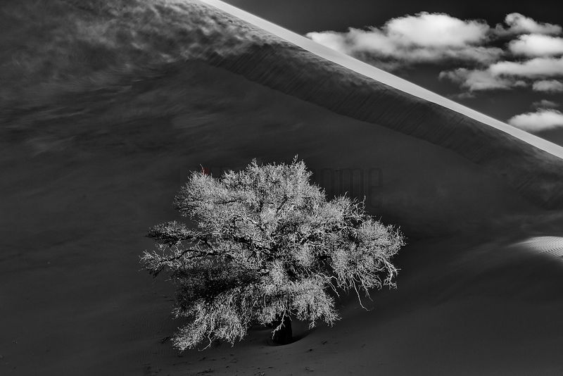Camelthorn Tree Next to Namib Dune