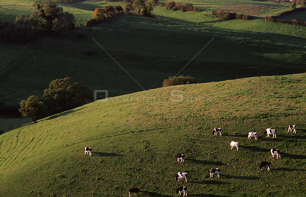 Cows grazing on hill at Oborne, Dorset, England.