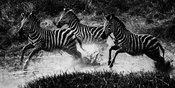05141-Zebras_throught_the_river_Tanzania_2018_Laurent_Baheux