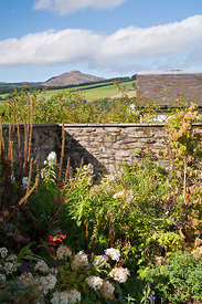 Hydrangea arborescens 'Annabelle' , Cornus, Crocosmia etc in corner of walled garden; Farragon Hill in distance