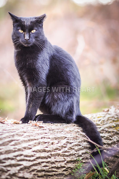 Black_Cat_On_Log_Looking_At_Camera