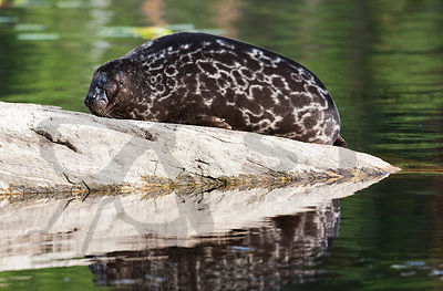 Saimaa Ringed Seal Having Afternoon Nap