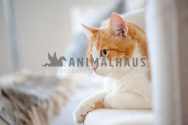 Beautiful red and white cat lying on the sofa at home