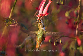 Rufous Hummingbird, Female