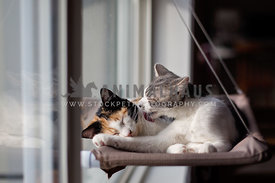 One kitten grooming another one in a window bed
