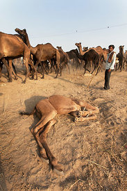 A camel lies dead in the desert sand during the Pushkar Camel Mela, Pushkar, Rajasthan, India.