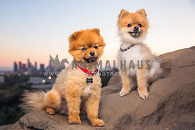 two pomeranians on a perch over Los Angeles