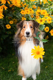 Sheltie hiding amongst flowers