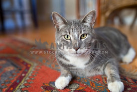 grey and white cat on red rug