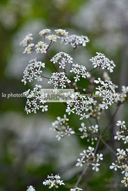 Anthriscus sylvestris 'Ravenswing' (Cerfeuil sauvage), vivace. Paysagiste : Niall Maxwell, Dublin, Irlande