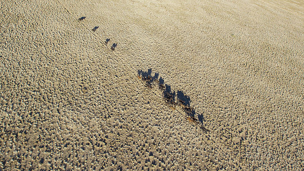 Aerial view of a herd of wild mustangs galloping across arid plain, Colorado, USA
