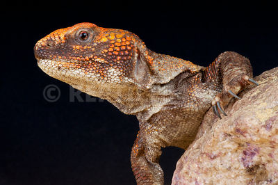 Morrocan spiny-tailed agama (Uromastyx acanthinurus)