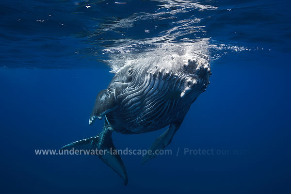 Whale close up underwater picture
