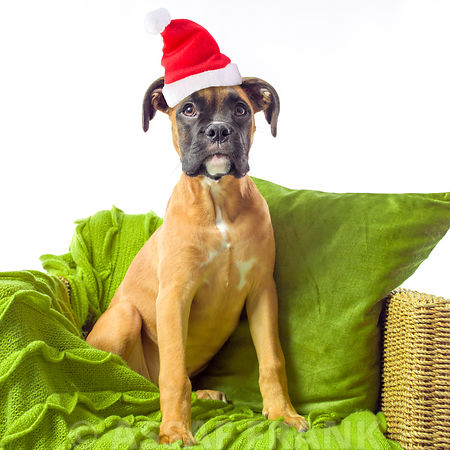 Boxer puppy with santa hat on arm chair
