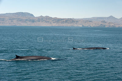 Fin whales {Baleanoptera physalus} surfacing, Loreto Marine Reserve, Gulf of California, Mexico