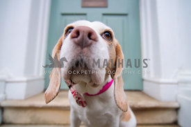 Cute female Beagle with bow tie sitting at a door wideangle shot