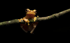 Hourglass Tree Frog, Costa Rica