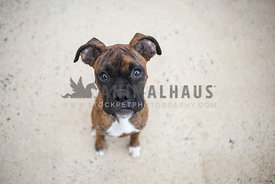 Brindle Boxer puppy sits on sidewalk looking up at camera with sad puppy dog eyes